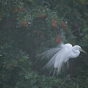 Great Egret (Ardea alba) in Florida.