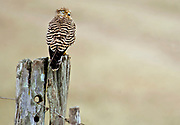 Greater Kestrel (Falco rupicoloides) from Solio Ranch, Kenya