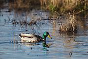 USA, Oregon, Baskett Slough National Wildlife Refuge, drake Mallard (Anas plathyrhynchos)