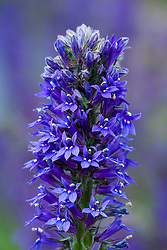 Lobelia siphilitica Blue (LOB182) from Moles seeds.Blue cardinal flower