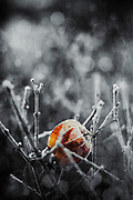 Chines lantern covered in hoar frost