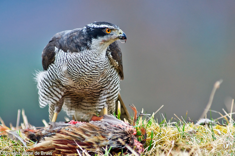 a Goshawk is feeding on a prey in the Cairngorms National Park in Scotland