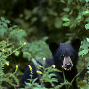 Black Bear (Ursus americanus).  A cub in the forest during the summer.