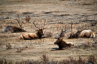 Bull Elks in Rocky Mountain National Park. Winter nature in Colorado. Image taken with a Nikon D300 camera and 300 mm f/2.8 VR lens with a TCE-20 teleconverter (ISO 200, 600 mm, f/5.6, 1/800 sec).