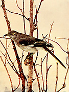 The northern mockingbird (Mimus polyglottos) is the only mockingbird commonly found in North America. This bird is mainly a permanent resident, but northern birds may move south during harsh weather. From Birds : illustrated by color photography : a monthly serial. Knowledge of Bird-life Vol 1 No 1 June 1897