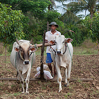 Most of the rice grown in Cambodia is produced in the Battambang province.