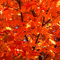 """""""Orange"""" <br /> <br /> A wonderful melange of orange, gold, and red maple leaves filled with sunlight from above!!<br /> <br /> Fall Foliage by Rachel Cohen"""