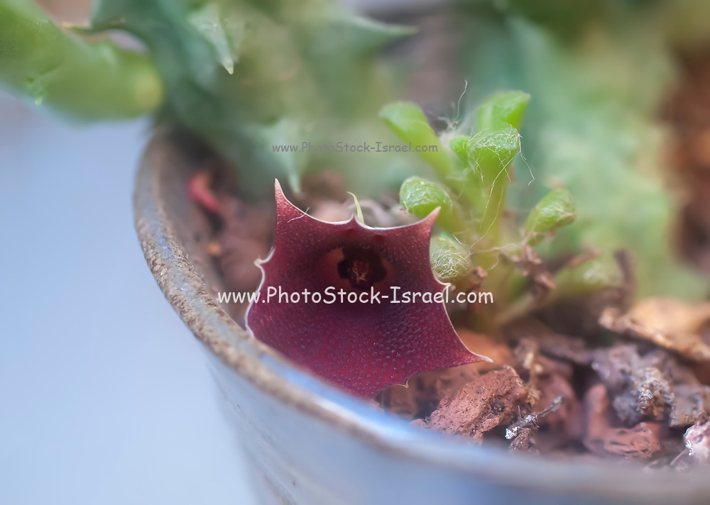 Flowering Huernia keniensis (Kenyan Dragon Flower) is a tropical, succulent plant with 5-angled grey-green stems with some red mottling, up to 5 inches (12.5 cm) long and up to 0.4 inch (1 cm) thick. Flowers are reddish to purplish, up to 1 inch (2.5 cm) in diameter, star-shaped with a distinctive ten-pointed corolla. Flowers occur from June to October and do not have a carrion-like smell.
