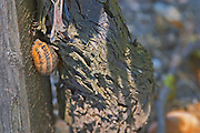A snail climbing up a vine in the vineyard Chateau Kirwan, Cantenac Margaux Medoc Bordeaux Gironde Aquitaine France