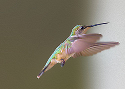The Ruby-throated Hummingbird does not show a strong preference for any particular color of feeder. Instead, it prefers specific feeder locations. uby-throated Hummingbirds normally place their nest on a branch of a deciduous or coniferous tree; however, these birds are accustomed to human habitation and have been known to nest on loops of chain, wire, and extension cords.<br />