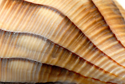 The axial streaks and fainter radial stripes which circumvent the shell, along with it's sinistral, or left-handed opening help identify this Lightning whelk.