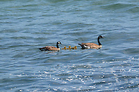 A pair of         swimming with their chicks in the Pacific Ocean, near Jenner, Sonoma County, California, USA. 201304292087<br /> <br /> Copyright Image from Victor Patterson, 54 Dorchester Park, Belfast, UK, BT9 6RJ<br /> <br /> Tel: +44 28 9066 1296<br /> Mob: +44 7802 353836<br /> Voicemail +44 20 8816 7153<br /> Skype: victorpattersonbelfast<br /> Email: victorpatterson@me.com<br /> Email: victorpatterson@ireland.com (back-up)<br /> <br /> IMPORTANT: If you wish to use this image or any other of my images please go to www.victorpatterson.com and click on the Terms & Conditions. Then contact me by email or phone with the reference number(s) of the image(s) concerned.