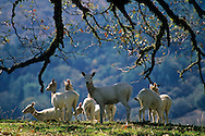 White Deer, (a gift from W.R. Hearst) Ridgewood Ranch, near Willits, Mendocino County, California