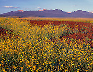 CADDV_041 - USA, California, Death Valley National Park, Desert sunflower (Geraea canescens) blooms on Split Cinder Cone while Panamint Range rises in the distance.