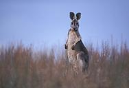Oceania, Australia, Tasmania, Wallaby, Kangaroo