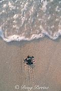 loggerhead sea turtle hatchling, Caretta caretta, crawls across nesting beach toward ocean, Juno Beach, Florida ( Western Atlantic Ocean )