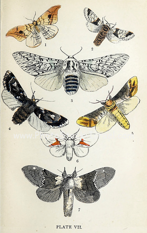 Plate VII 1. Pebble Hook-Tip. 2. Scarce Kitten. 3. Puss Moth. 4. Rannoch Sprawler. 5. Buff-Tip. 6. White Prominent. 7. Lobster Moth. from the book ' The common moths of England ' by Wood, J. G. (John George), 1827-1889 Publication date 1878 in London : by G. Routledge and Sons