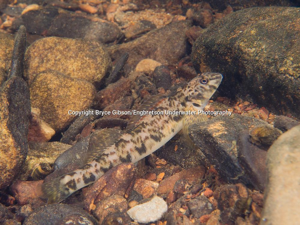 Greenside Darter<br /> <br /> Bryce Gibson/Engbretson Underwater Photography