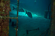 In the hold with White Margates, Doc Paulson, Grand Cayman