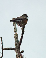 American Robin (Turdus migratorius). Image taken with a Nikon D200 camera and 80-400 mm VR lens.