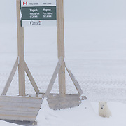 A polar bear cub of the year sits quietly taking shelter from the wind beneath a Wapusk National Park sign in Wapusk National Park. The mother was nowhere to be seen and we presumed this cub was somehow separated from its mother. Cape Churchill, Manitoba, Canada