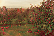 Apple Orchard, Hudson RIver Valley