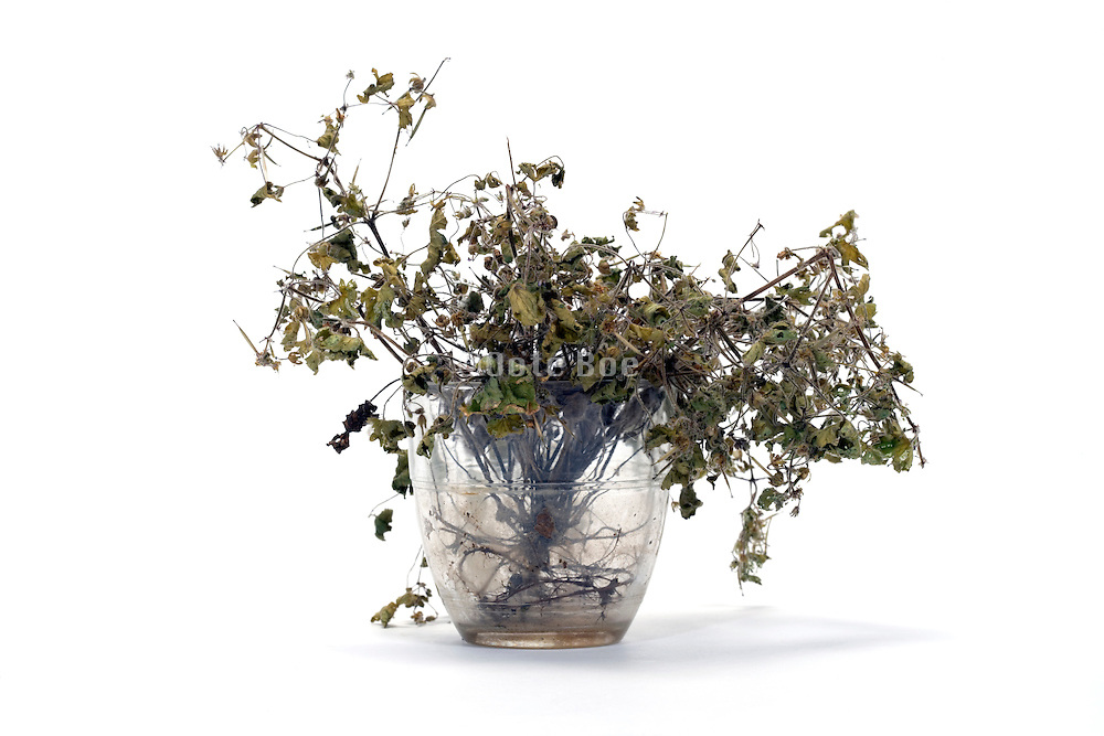 dying grasses in glass cup without water