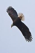 Bald Eagle (Haliaeetus leucocephalus) (Halietus leucocephalus) dives for a fish over Hood Canal in Puget Sound Washington, USA