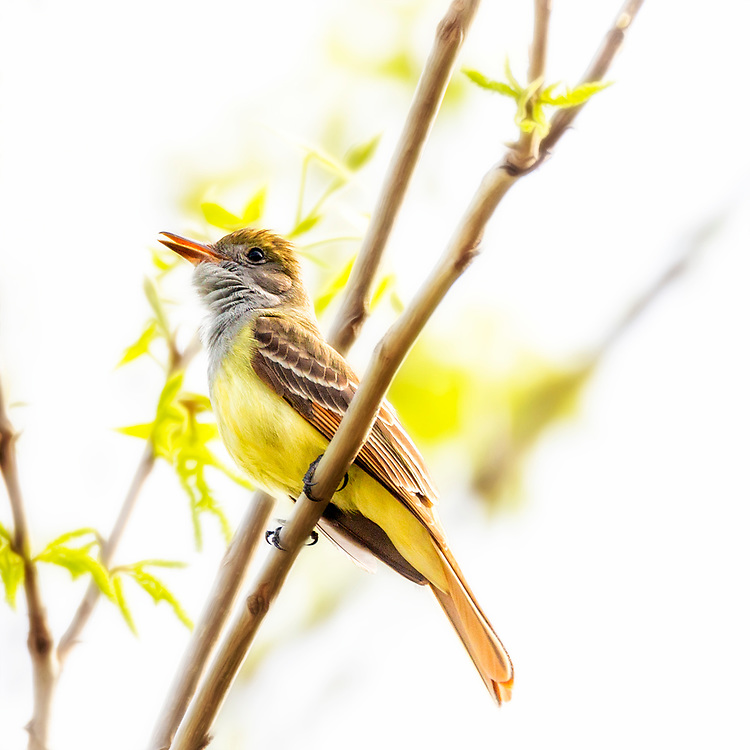 A Great Crested Flycatcher squawks in tree during bright noon light.
