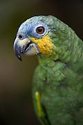 Orange-winged Amazon (Amazona amazonica) CAPTIVE<br /> Amazon Rainforest<br /> ECUADOR. South America<br /> HABITAT & RANGE: Forest and semi-open country from Colombia, Trinidad & Tobago south to Ecuador, Peru and Brazil.