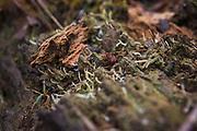 Tiny fungus (or lichen) Multiclavula mucida growing on rotting remains of fallen trees, near velmeri, Vidzeme, Latvia Ⓒ Davis Ulands | davisulands.com
