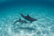bottlenose dolphins and calf, Tursiops truncatus<br /> Abaco Islands, Bahamas ( Western Atlantic Ocean )
