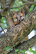 Gray fox pup in tree.
