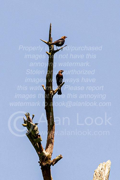 Pair of Brown-headed Cowbirds perch on a dead tree