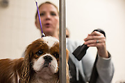 New York, NY - 16 February 2015. Cavalier King Charles spaniel Willy in the benching area of Madison Square Garden, being groomed for his appearance in the Toy group of the 139th Westminster Kennel Club Dog Show.