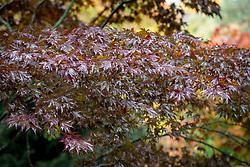 Acer palmatum 'Fireglow' syn. Acer palmatum 'Effegi'- Japanese maple