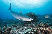 tiger shark, Galeocerdo cuvier, and omilu or bluefiin trevally, Caranx melampygus, Honokohau, Kona, Big Island, Hawaii, USA ( Central Pacific Ocean )