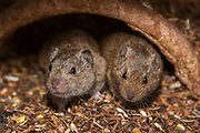 Social Vole (Microtus socialis) is a species of rodent in the family Cricetidae.. Photographed in Israel in May