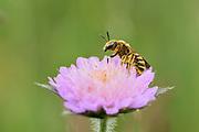 Gelbbindige Furchenbiene (Halictus scabiosae) Weibchen