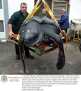 A 100 year old giant leatherback turtle weighing a whopping 70 stone was rescued at Brandon Creek near Dingle, Co. Kerry in August 2005. The turtle was trapped in lobster ropes in the sea and was brought to Dingle Oceanworld by trailer before being forklifted into a holding tank of water. The turtle was electronically tagged and released back into the Atlantic Ocean where it is currently being monitored.<br />Picture shows  the turtle about to be tagged.<br />Picture: Don MacMonagle<br />email: info@macmonagle.com<br /> *** Local Caption *** ©macmonagle photography,<br />6 port road,<br />killarney,<br />county kerry<br />ireland<br />email: info@macmonagle.com<br />Tel: 353-64-32833