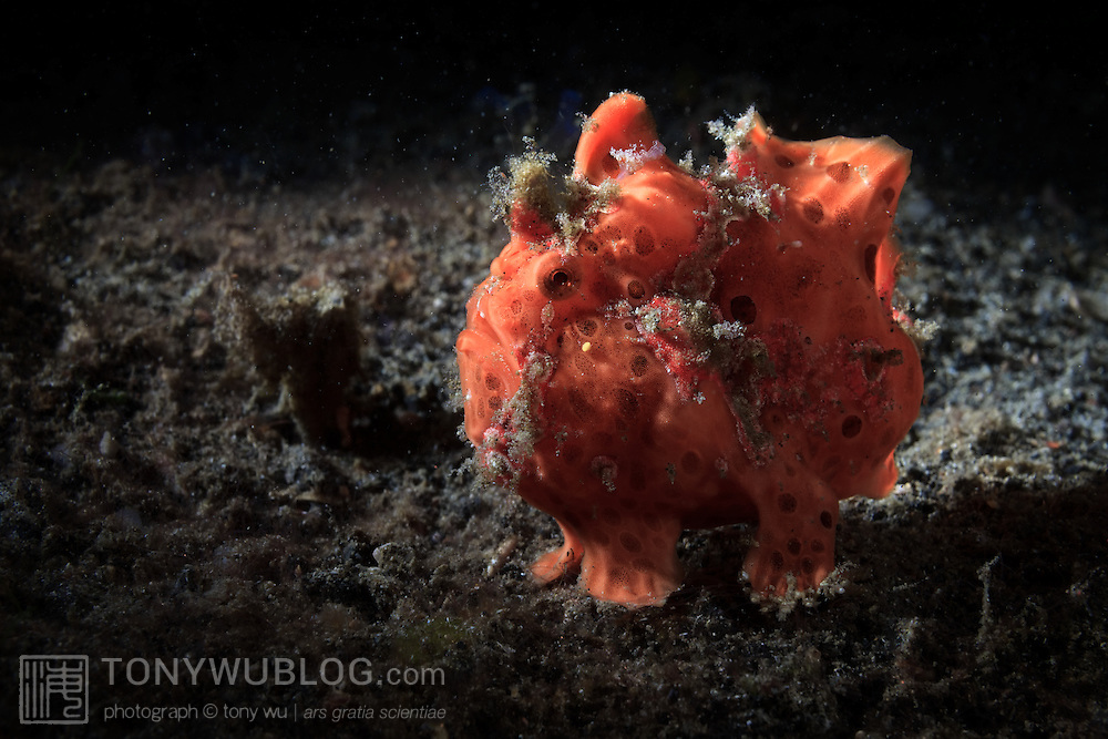 Large orange-red painted frogfish (Antennarius pictus) lying in wait for prey at night in Lembeh Strait, North Sulawesi, Indonesia.
