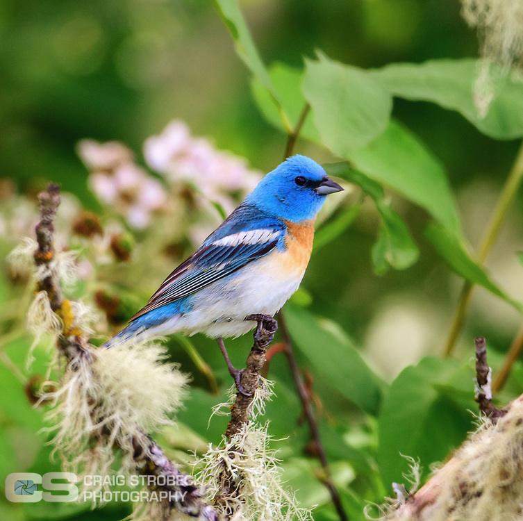 Lazuli Bunting photographed at William Finley NWR