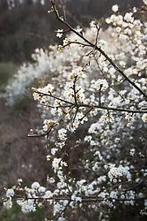 Blackthorn, Sloe. Prunus spinosa