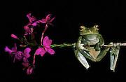 Tree frog (Hyla pellucens)<br /> Mindo Cloud forest<br /> ECUADOR. South America