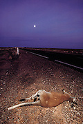 A dead kangaroo, hit by a vehicle just before dawn on the Stuart Highway, South of Glendambo in Southern Australia during the Pentax Solar Car Race, the first international solar-powered car race. (1987)