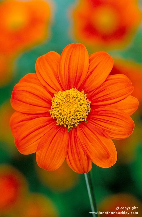 Tithonia rotundifolia 'Torch' - Mexican sunflower