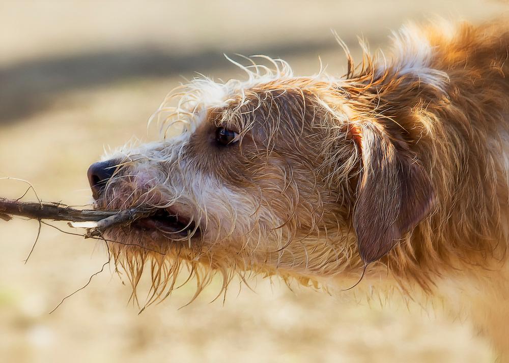 A dog plays tug of war.