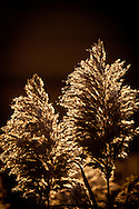 Backlit seedheads of tall reeds near Nauset Beach in Orleans.