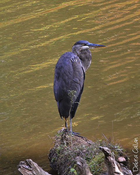 Great Blue Heron fishing at Raccoon Creek State Park