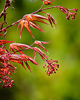Red Maple flowers. Image taken with a Fuji X-T2 camera and 100-400 mm OIS lens (ISO 200, 400 mm, f/6.4, 1/90 sec).